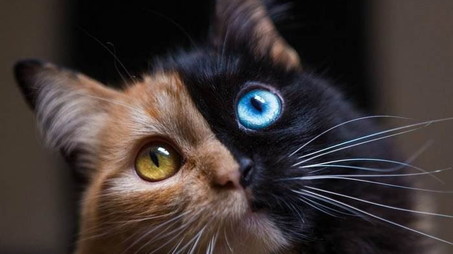 "This ""Chimera"" Kitten Is The Cutest Accident By Mother Nature"