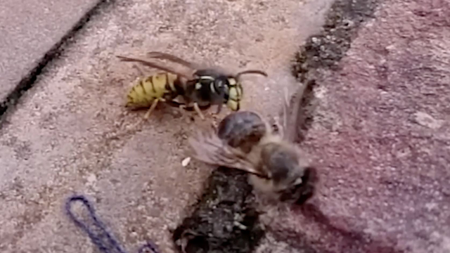 Who Will Be The Winner In A Fight Between A Bee And A Wasp?
