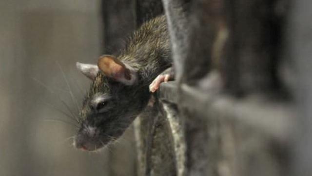 cara halau tikus dari rumah