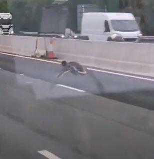 itik dirakam merempit atas lebuh raya, mencelah antara lori