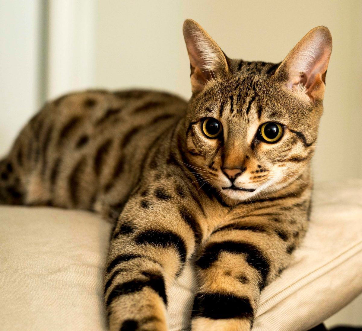 nak beli kucing online, tapi dapat anak harimau pula