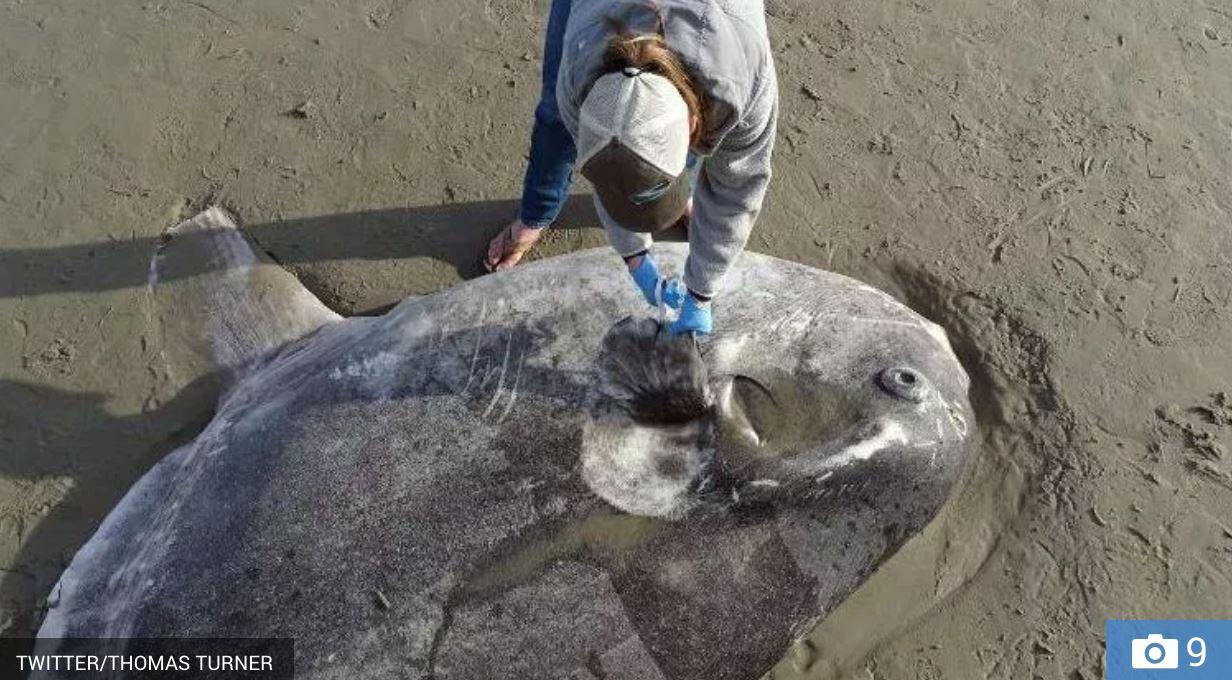 ikan bentuk pelik terdampar di pantai, saintis kata ia rare
