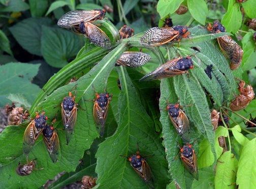 ramai tadah air dari pokok petai menangis, di kota bharu, rupanya air kencing serangga