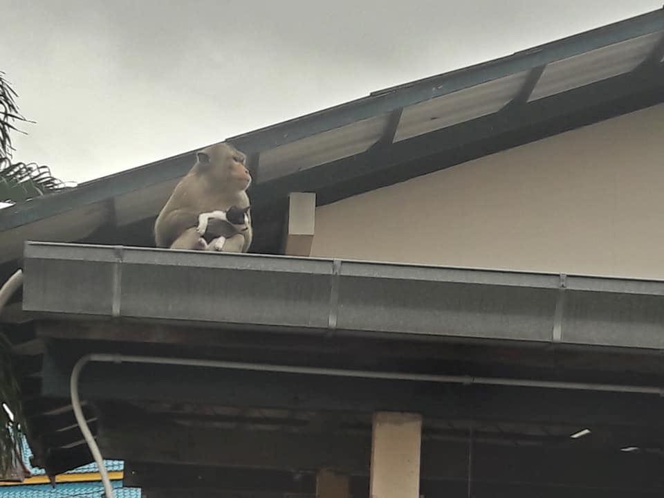 monyet berjaya culik anak kucing dan cuba beri makan pisang