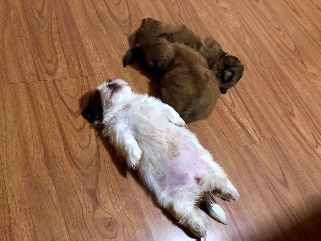 this shih tzu went viral because of its adorable sleeping position!