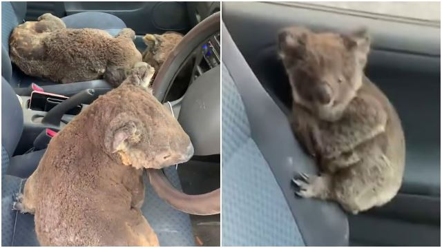 Aussie Teens Saved A Car Full Of Koalas From Bushfires