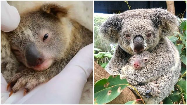 Australian Wildlife Park Welcomes Its First Baby Koala Born Since The Devastating Bushfires