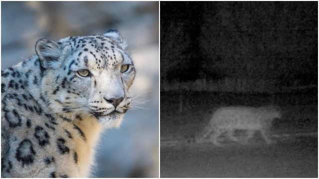 Snow Leopards Have Been Spotted Near Kazakh Amidst COVID-19 Lockdown
