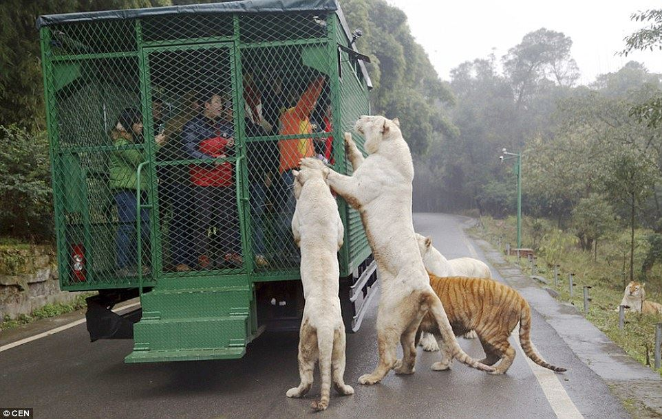 welcome the the zoo where animals roam free and people are caged