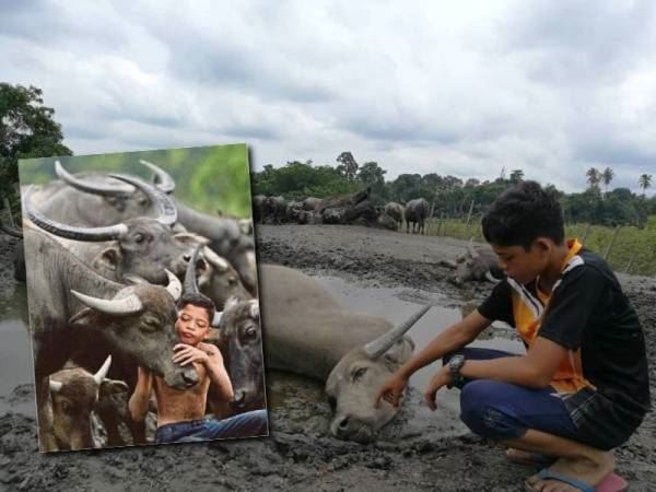 """malaysian mowgli"" mourns the death of his buffaloes"