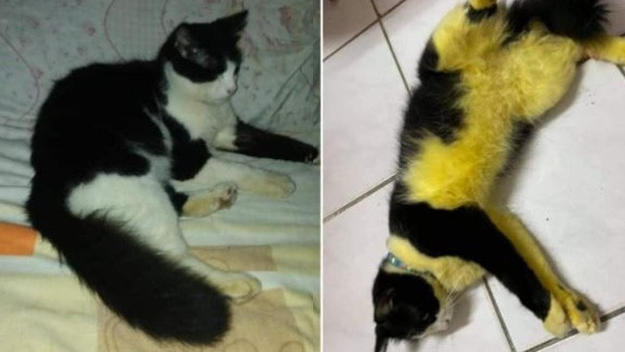 niat nak hilangkan kutu, sekali kucing bertukar jadi warna kuning!
