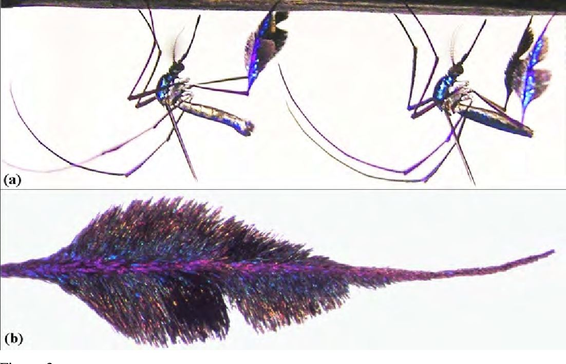 cantik tapi menjengkelkan, ini adalah spesis nyamuk paling cun di dunia