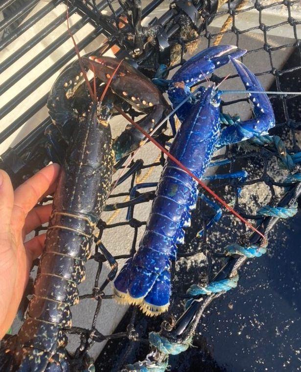 satu dalam 2 juta, nelayan temui udang karang warna biru