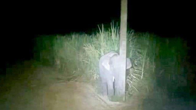 anak gajah cuba menyorok belakang tiang selepas ditangkap makan tebu
