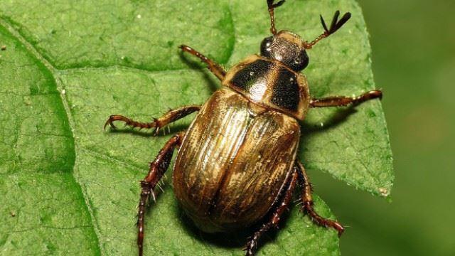 isteri naik angin, suami asyik berlakon menjadi seekor kumbang