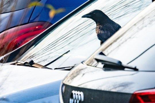 gagak jahat rosakkan cermin kereta orang