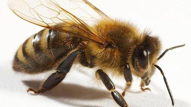 hanya minum air mata, lebah ditemui dalam mata seorang gadis