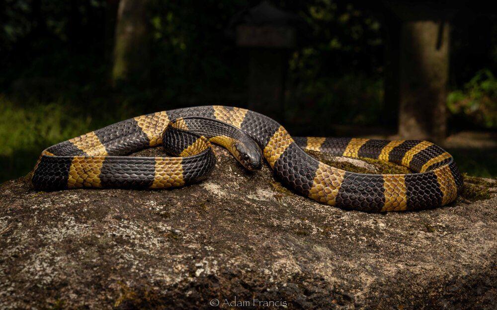 tak puas hati dipatuk, lelaki gigit semula ular sampai mati