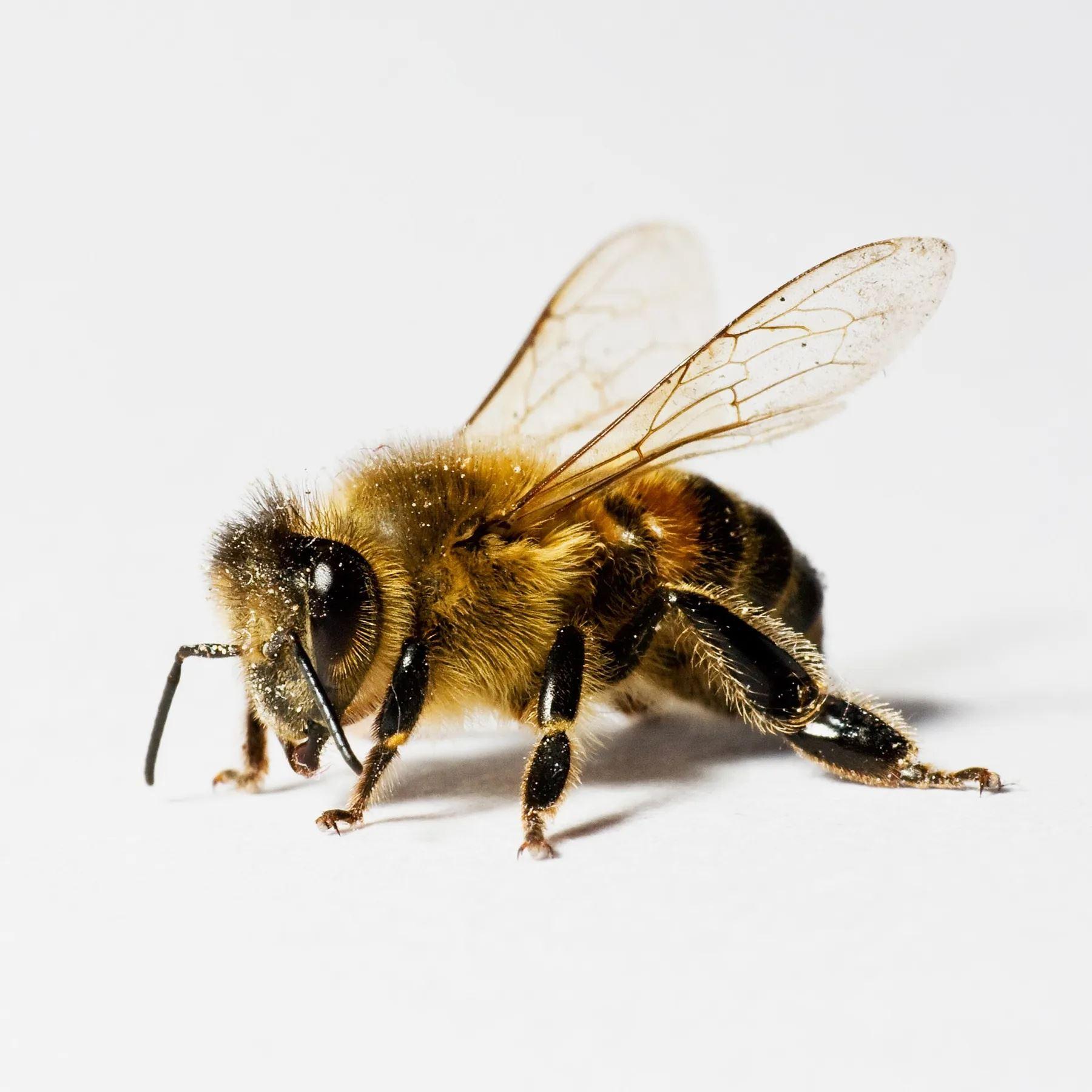 lebah kini dilatih untuk kesan virus covid-19