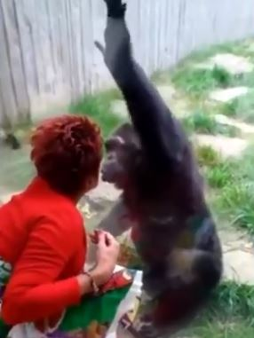 wanita dilarang datang lagi ke zoo lepas bercinta dengan cimpanzi