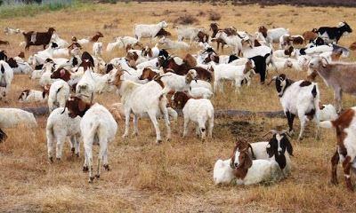 bikin terhibur, cerita tentang google yang pernah menyewa kambing di ibu pejabat