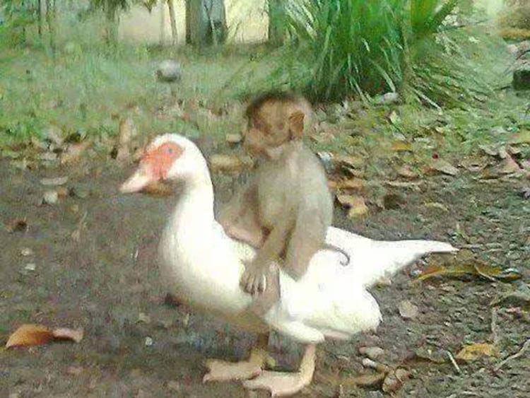 kisah sahabat sejati itik & monyet kecil yang buktikan kesetiaan mereka hingga akhir hayat