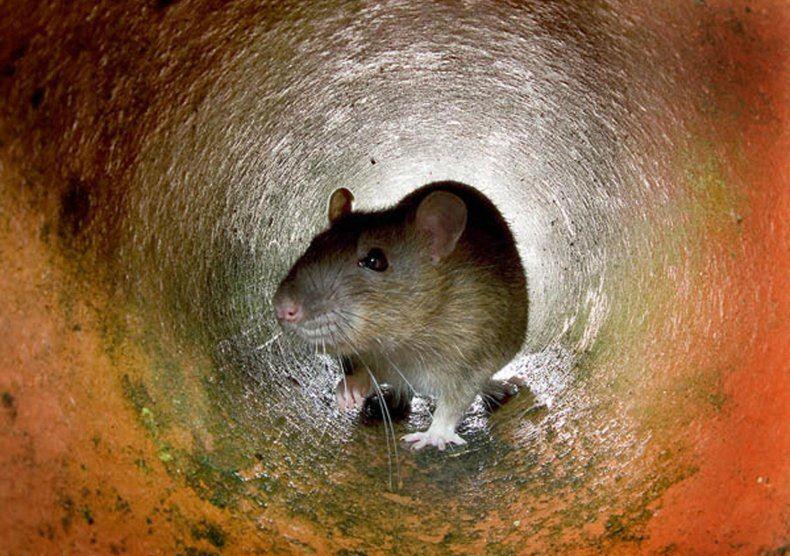 tikus gergasi ambil alih sekolah selepas lama sangat tutup