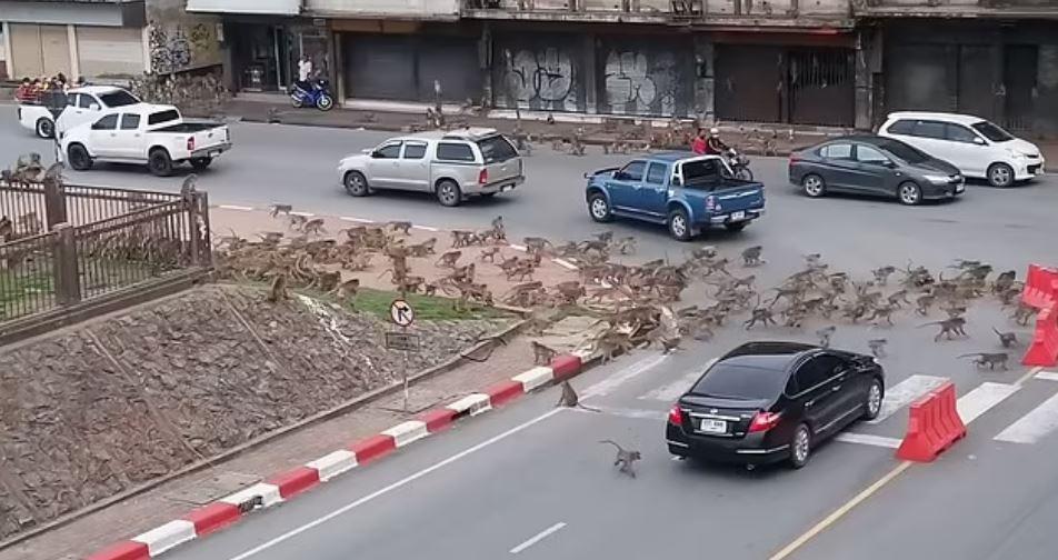 dua geng monyet bergaduh akibat krisis makanan disebabkan covid-19