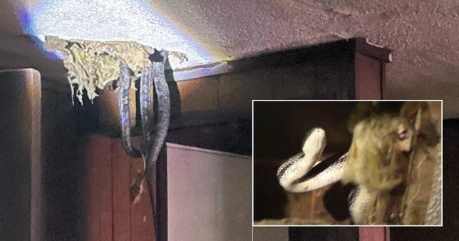 siling rumah runtuh rupanya jadi sarang ular
