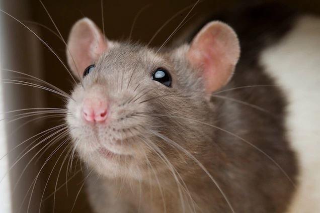 [video] halau berpuluh ekor tikus dalam rumah guna cara 'semulajadi' ini