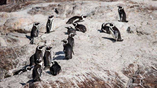 puluhan penguin ditemui mati di cape town, dipercayai akibat sengatan lebah