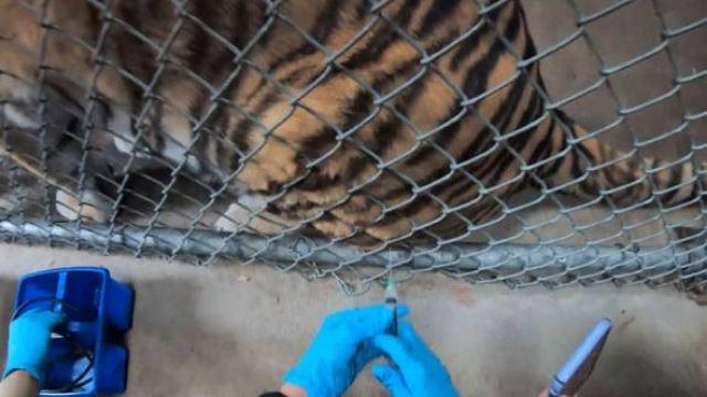 harimau antara haiwan pertama yang disuntik vaksin covid-19 di zoo oakland