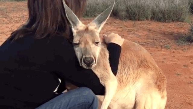 Setiap Hari Kangaroo Ini Minta Peluk Sebagai Tanda Terima Kasih