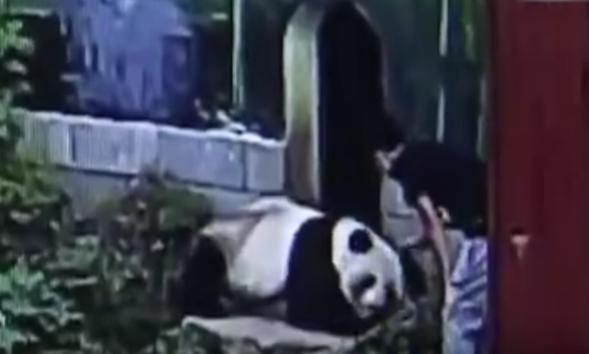 [Video] Ini Makannya Kalau Kejutkan Panda Yang Tengah Tidur