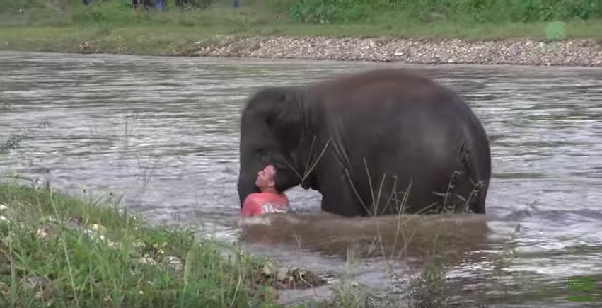 [Video] Anak Gajah Ini Sanggup Seberang Sungai Demi Menyelamatkan Tuan Yang Disangkakan Lemas