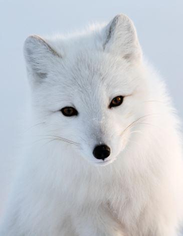 以为救了一只狗,后来却发现是个白狐狸!