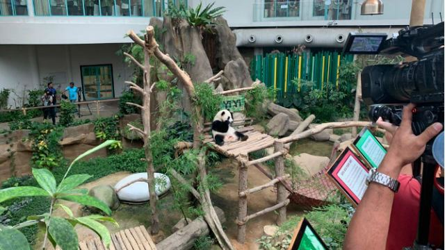Meet Yi Yi, Our Second Giant Panda Cub At Zoo Negara