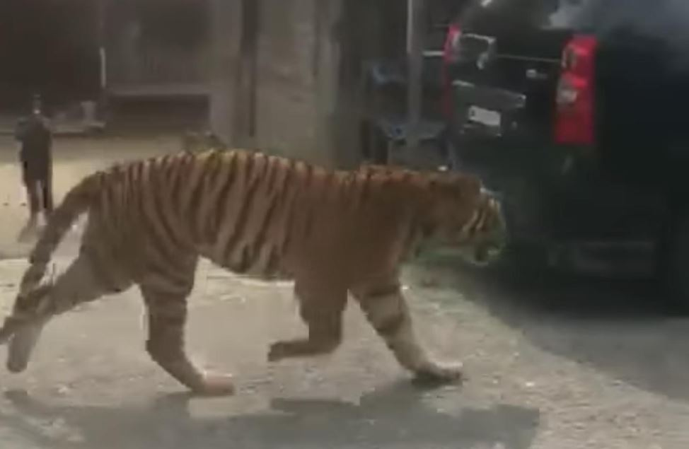 two tigers were seen wandering around a kampung in terengganu