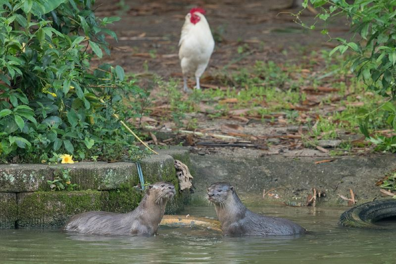 dbkl to adopt wild otters found in our park lakes