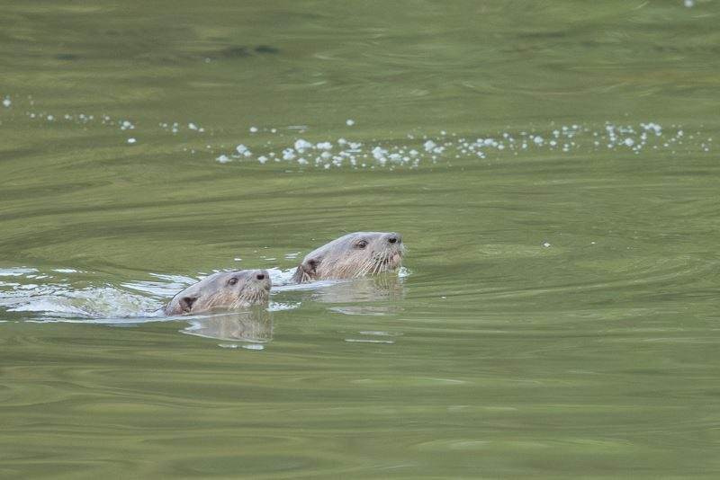 more otter-ly adorable otters found in klang valley