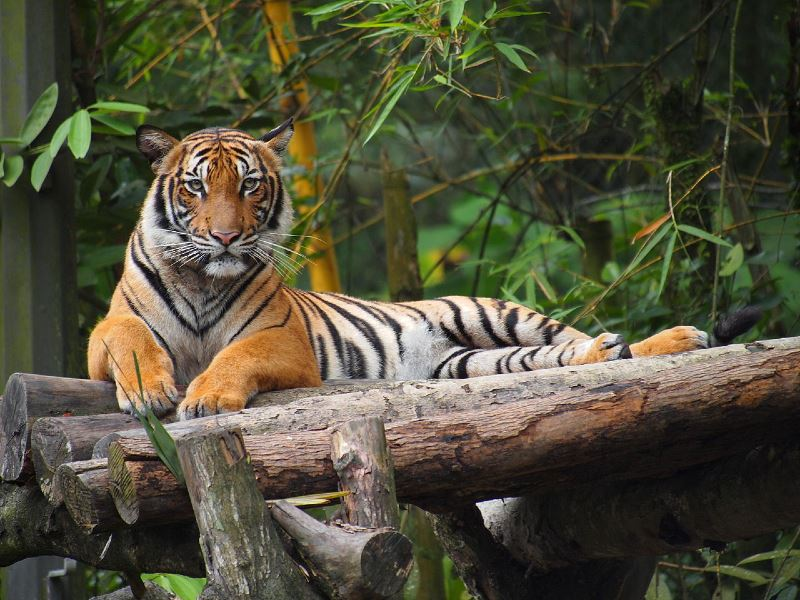 get to know how you can help save our tigers