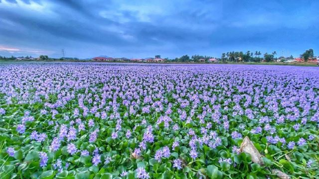 This Beautiful Flower Field Is Actually Located In Melaka!