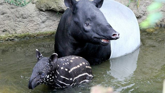 Let's Help Plant Trees To Nourish And Shelter Our Malayan Tapir!