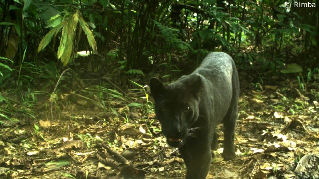 PERHILITAN Caught A Black Panther That Has Been Killing Livestock In Negeri Sembilan