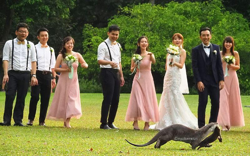 otter dad crashes wedding photoshoot while carrying its pup!