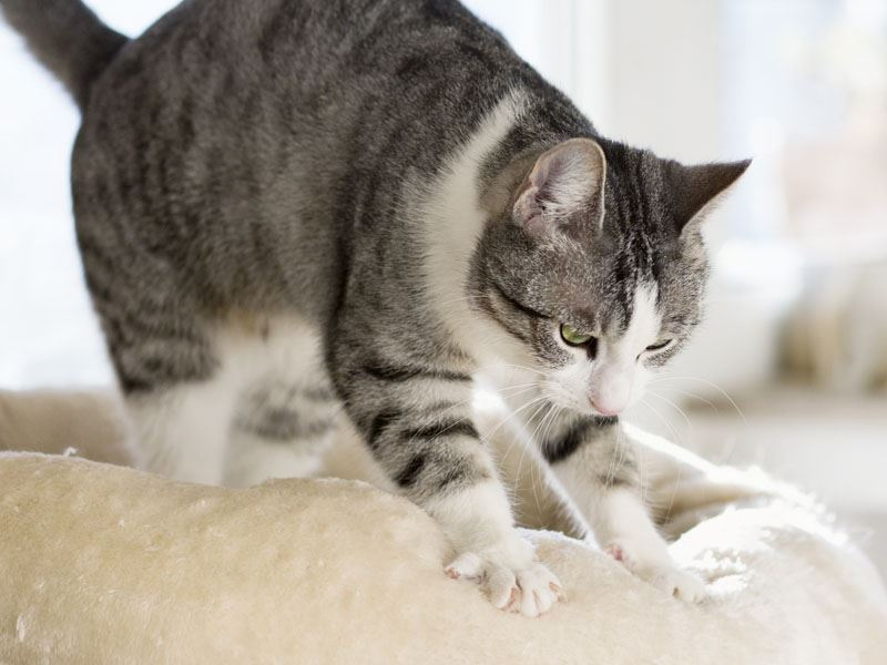 why do cats knead? here's the reason behind this behaviour