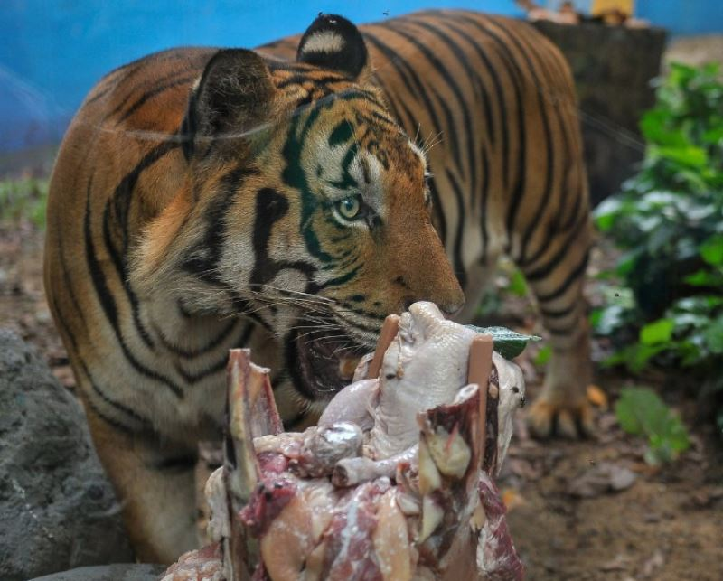 happy 2nd birthday to zoo negara's malayan tigers, hebat and wira!