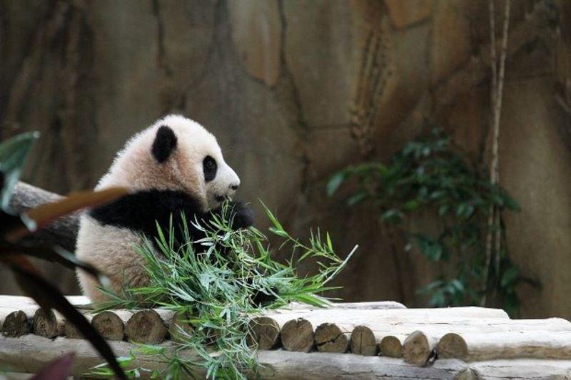 zoo negara's giant panda, liang liang has given birth to another panda cub!