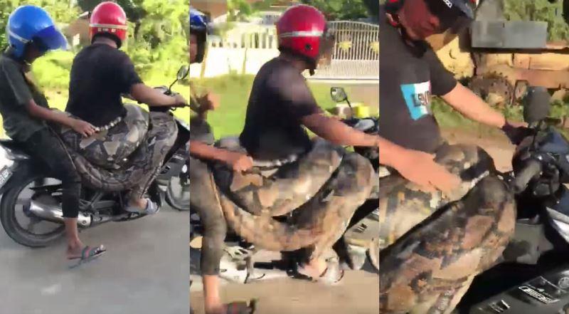 man in kelantan goes jalan-jalan with a python wrapped around his waist
