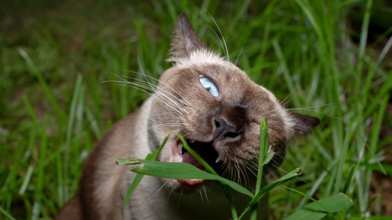 mystery solved? here's why you see your cat eating grass sometimes